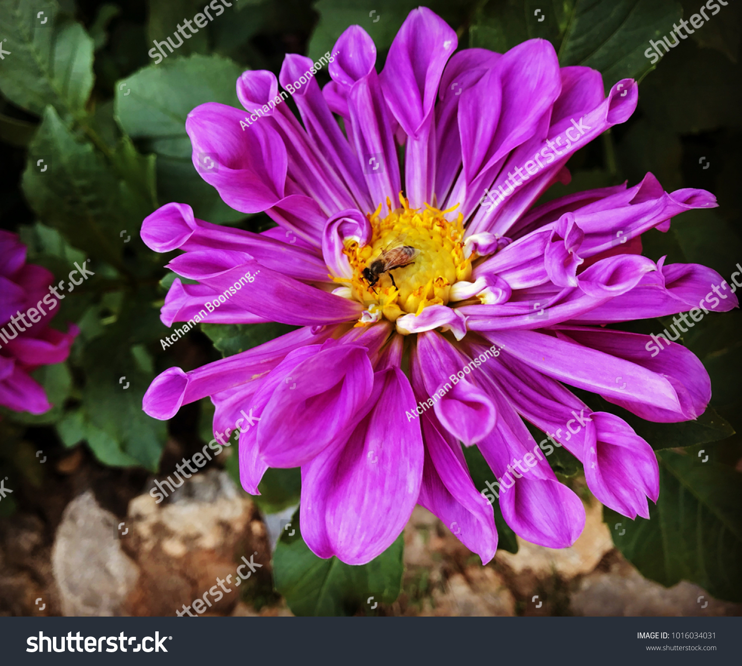Dahlia flower garden meaning instability unstable stock photo edit dahlia flower in the garden meaning of instability unstable purple color izmirmasajfo