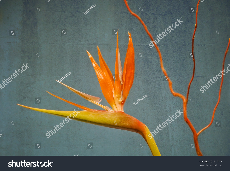 Bird of Paradise.Latin name - Strelitzia reginae.