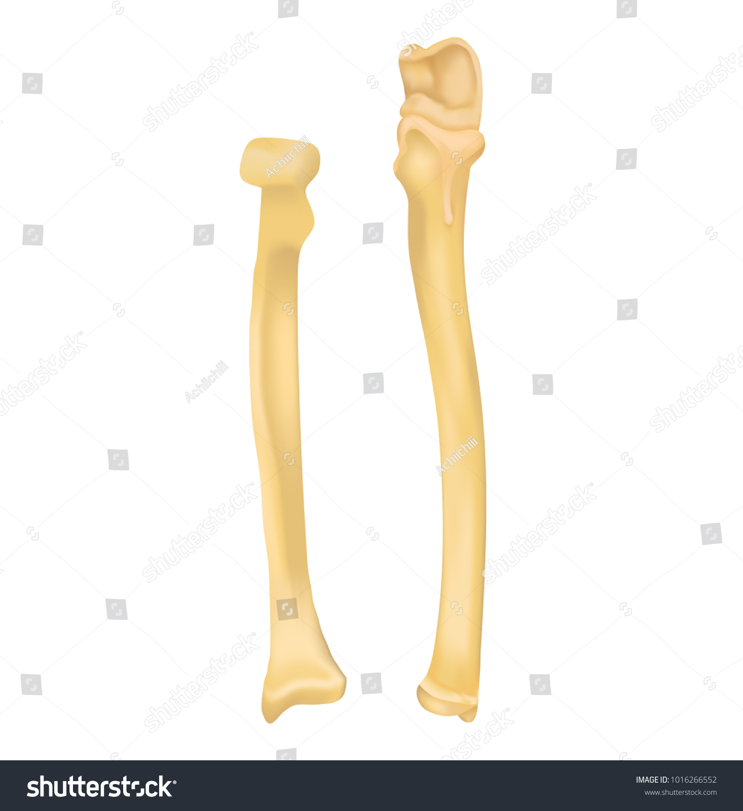 Ulna Radius Stock Photo (Photo, Vector, Illustration) 1016266552 ...