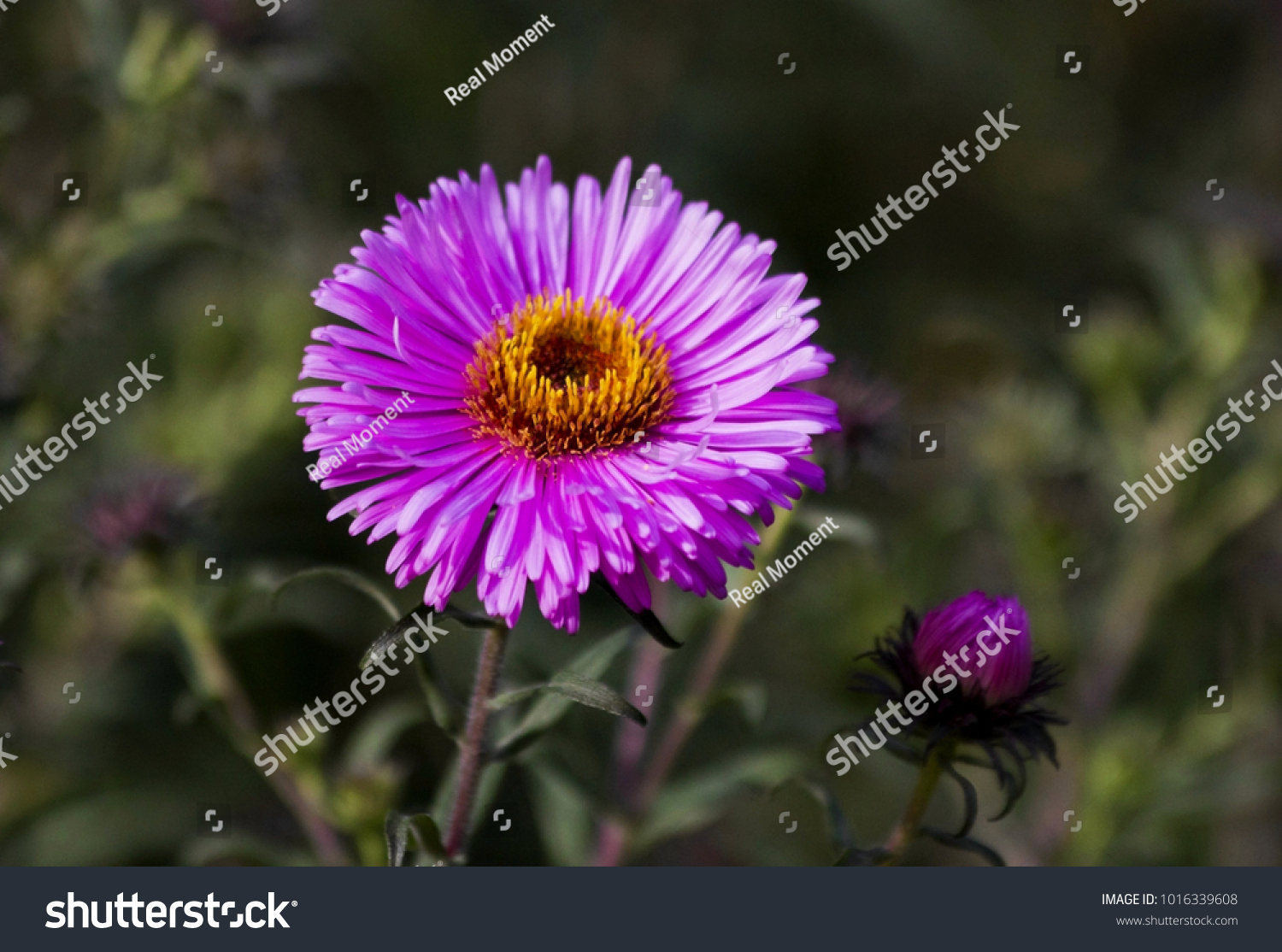 Pink aster blooming flower garden large stock photo royalty free pink aster blooming in the flower garden large alpine aster growing in the flower bed mightylinksfo