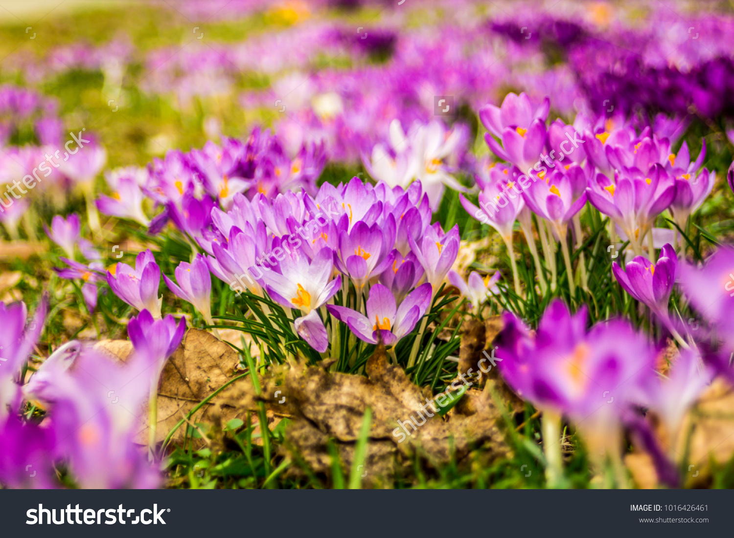 Crocus Plural Crocuses Croci Genus Flowering Stock Photo Royalty