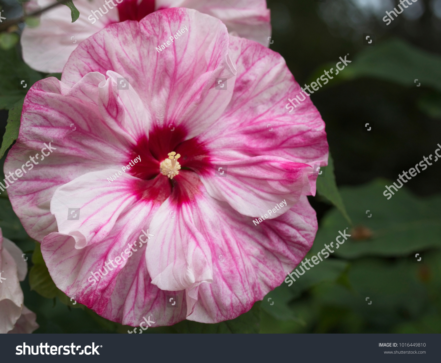 Large Open Bloom Of A Hibiscus Flower With Pink Red And White Petals