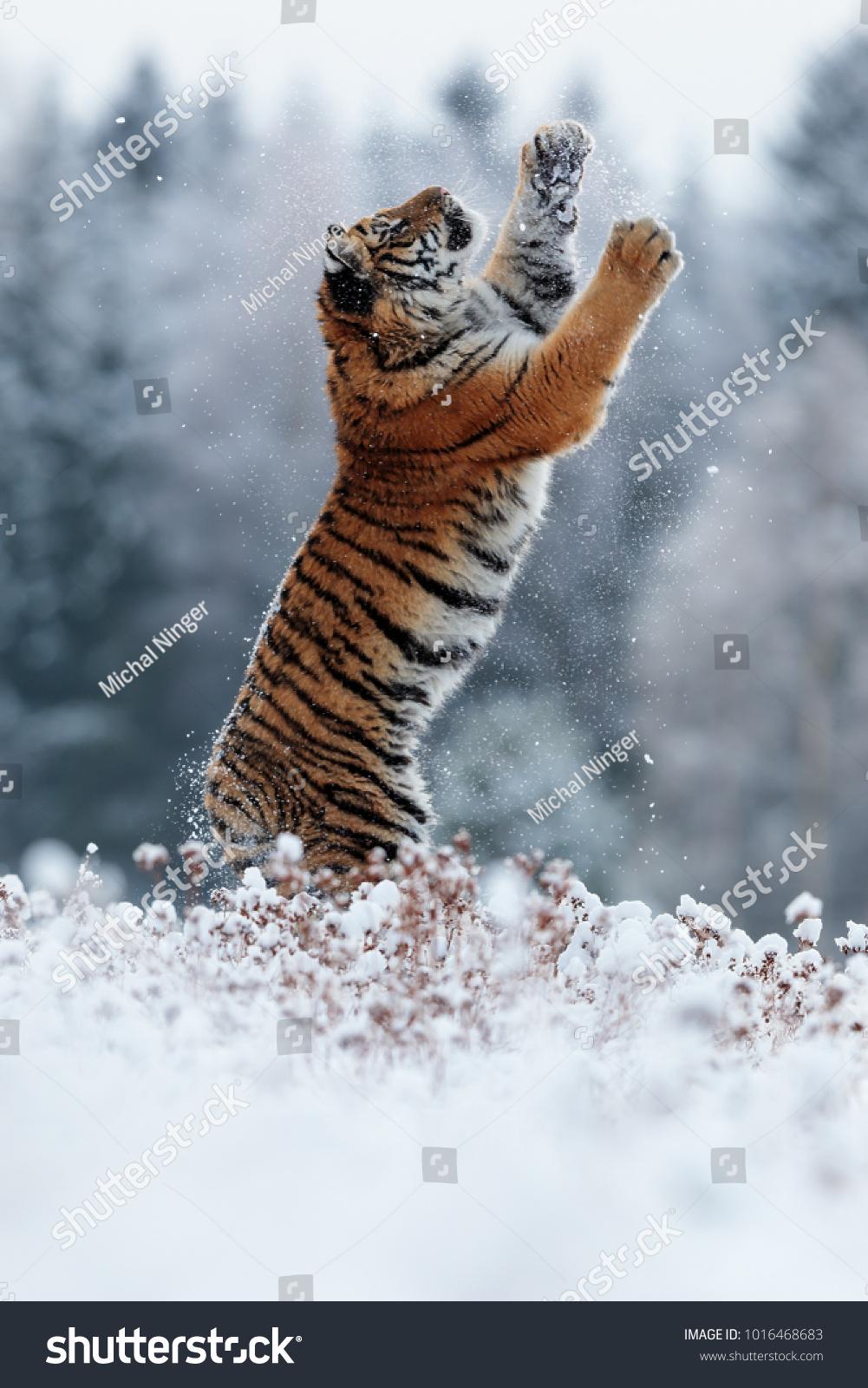 stock-photo-siberian-tiger-wants-to-hunt