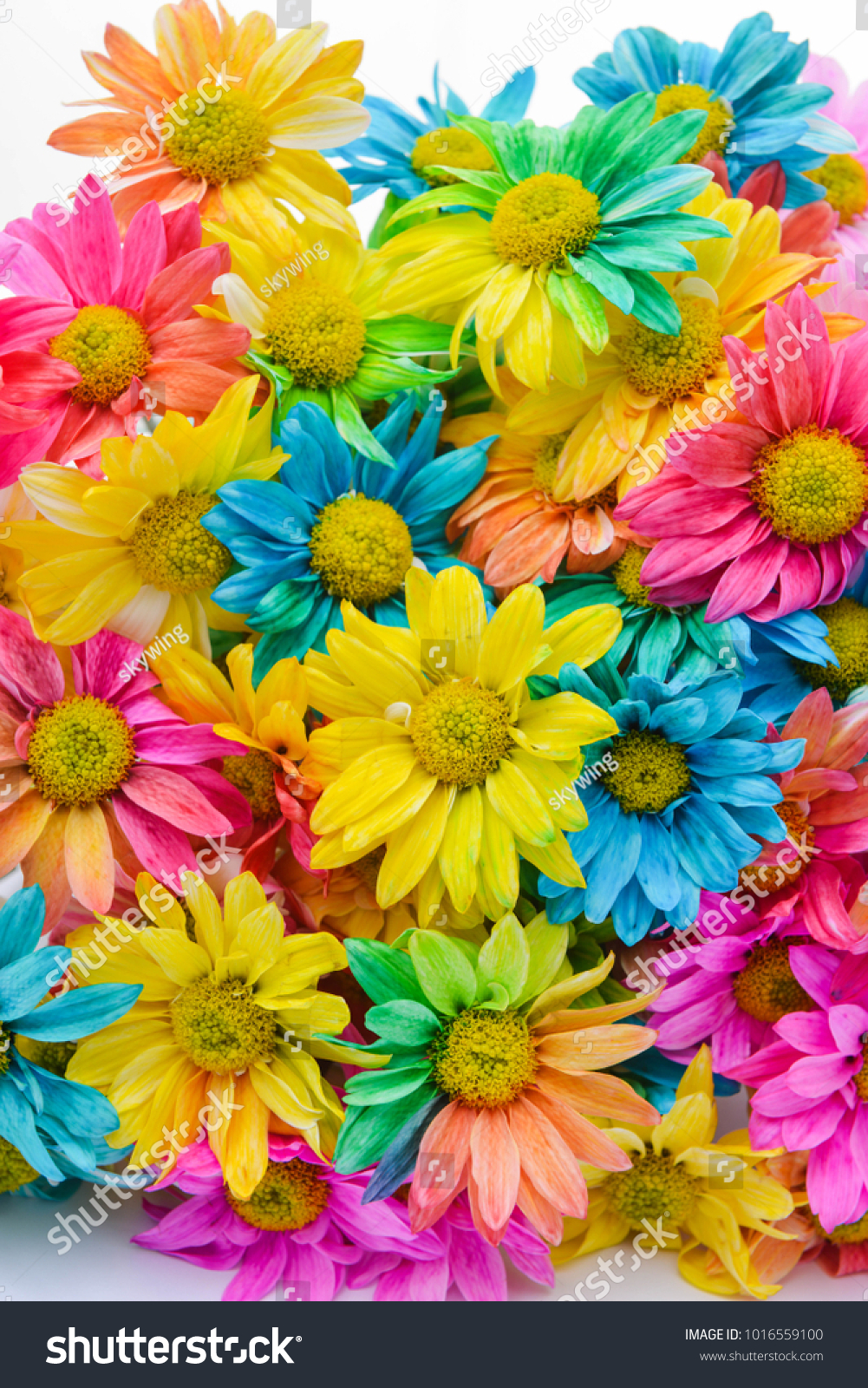Rainbow daisies chrysanthemum rainbow flower bouquets stock photo rainbow daisies chrysanthemum rainbow flower bouquets of blossom rainbow chrysanthemum flowers selective focus izmirmasajfo