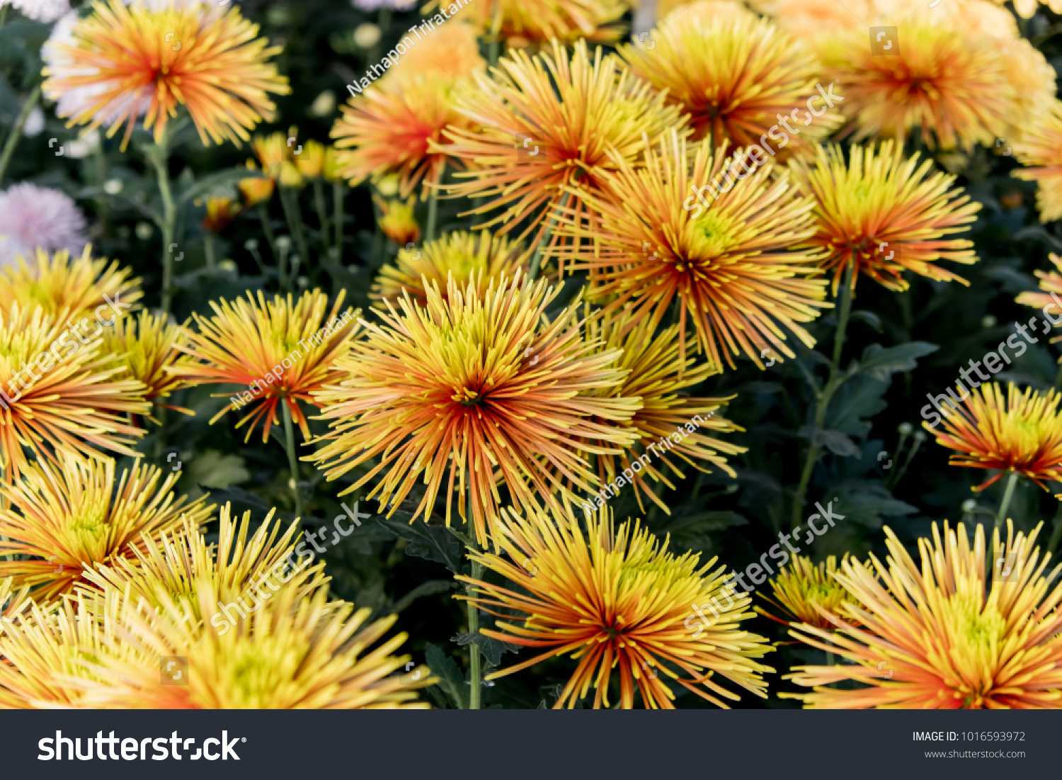 Chrysanthemum Chispaispa Means Sparkle In Spanish And That