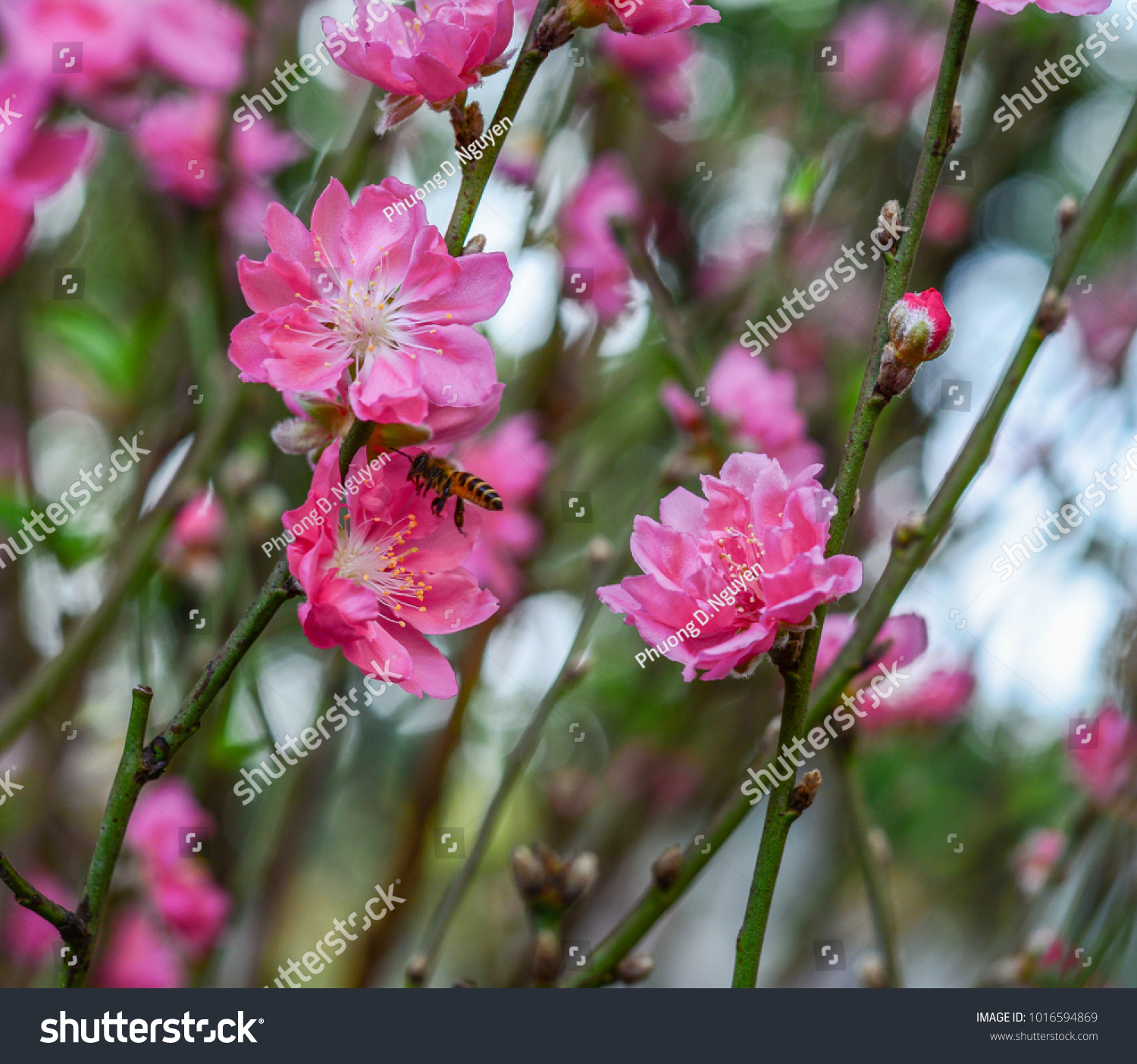 Peach Flowers At Sunny Day In Hanoi Vietnam It Is The Special