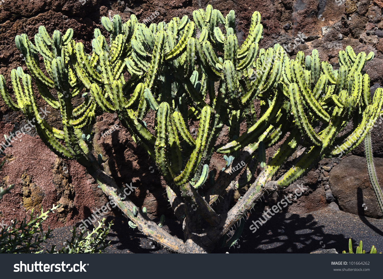 Cactus in jardin de cactus in lanzarote stock photo for Jardines con cactus