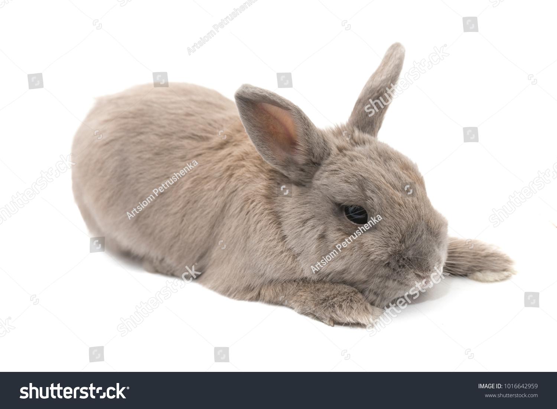How many live rabbits are decorative
