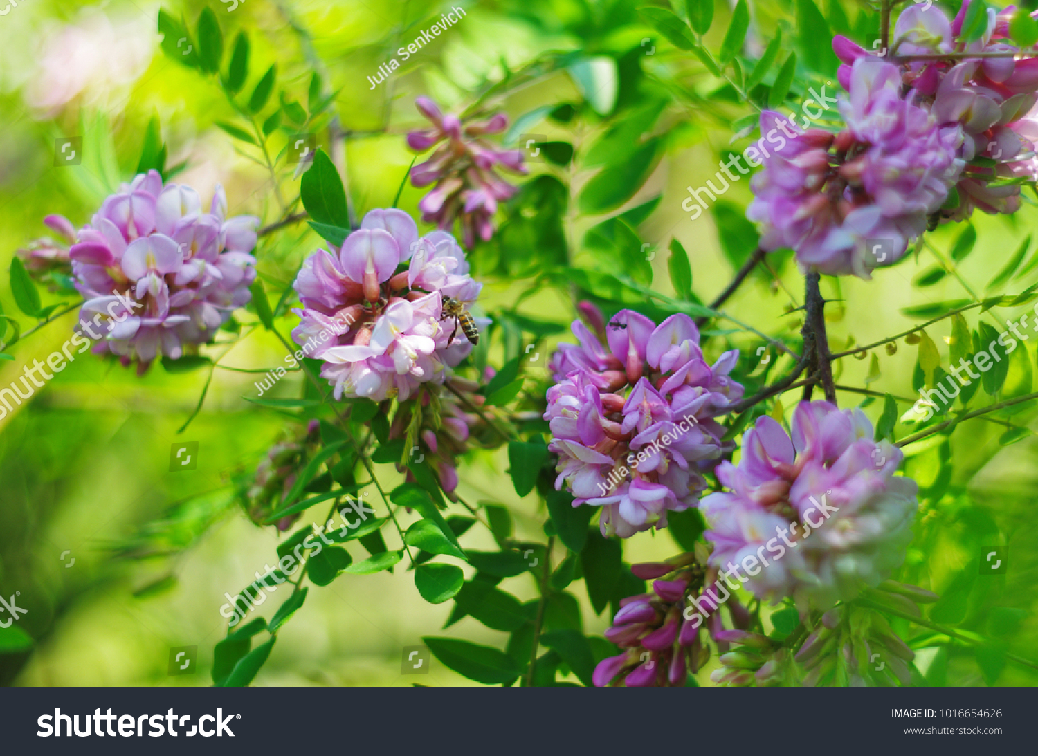 Honeybee On Pink Flower Blossoming Acacia Stock Photo Edit Now