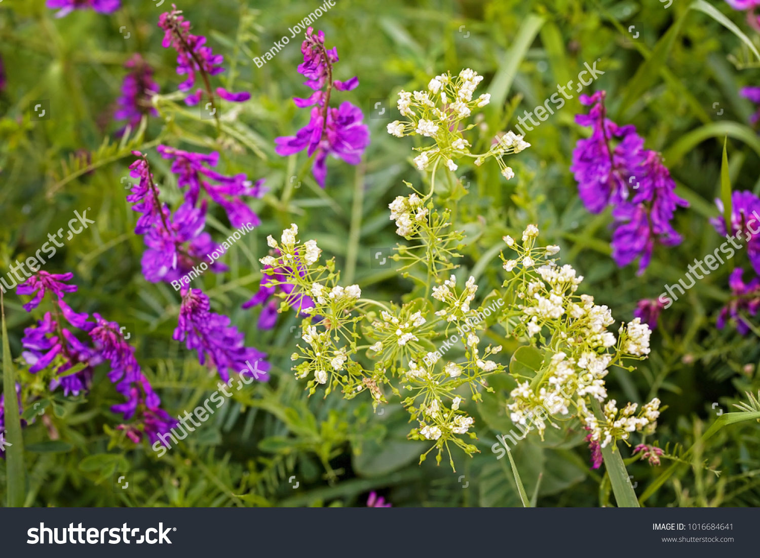 Wild Purple Flowers In Tall Green Grass Note Shallow Depth Of Field