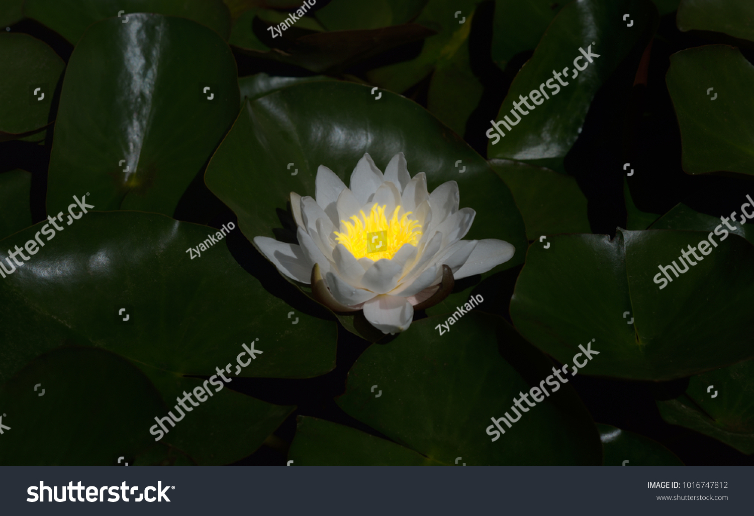 Closeup water lily nymphaea alba moonlight stock photo edit now close up of a water lily nymphaea alba in the moonlight izmirmasajfo