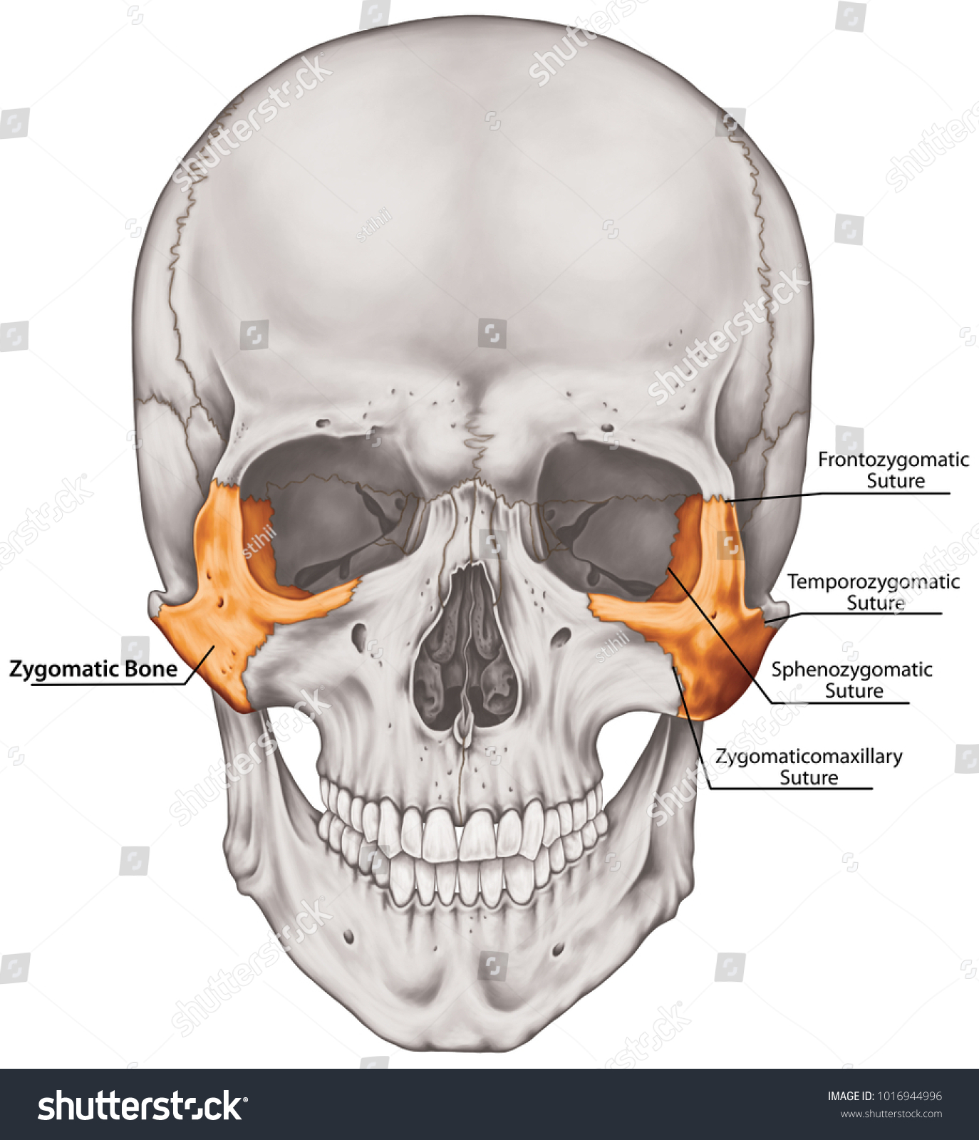 Zygomatic Bone Cranium Bones Head Skull Stock Illustration