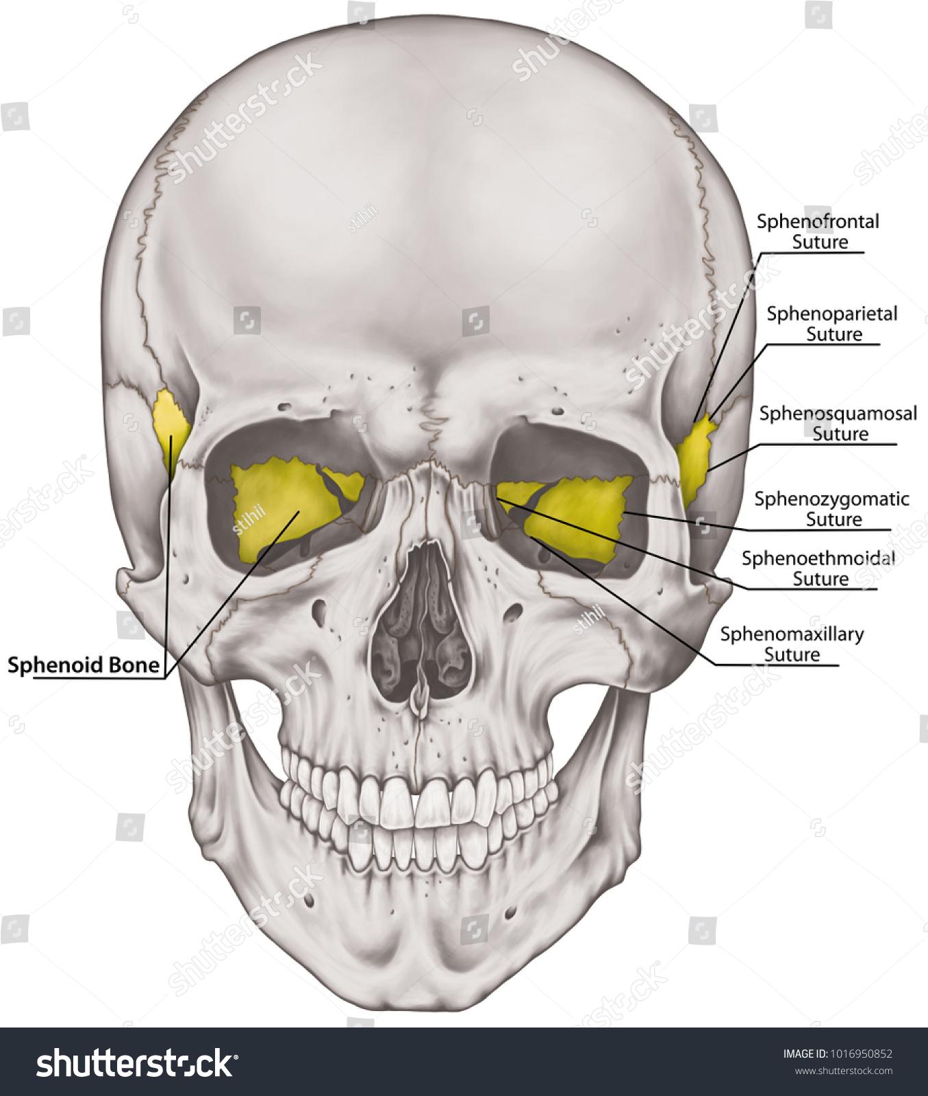Sphenoid Bone Cranium Bones Head Skull Stock Illustration 1016950852