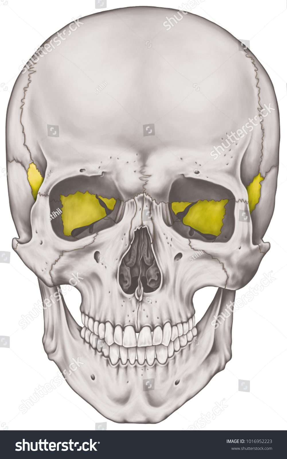 Sphenoid Bone Cranium Bones Head Skull Stock Illustration 1016952223 ...