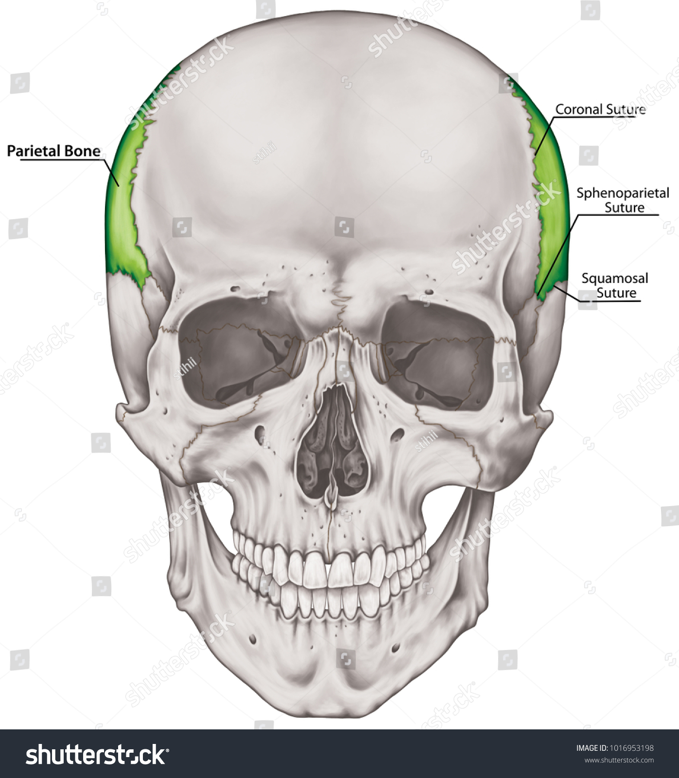 Parietal Bone Cranium Bones Head Skull Stock Illustration 1016953198 ...