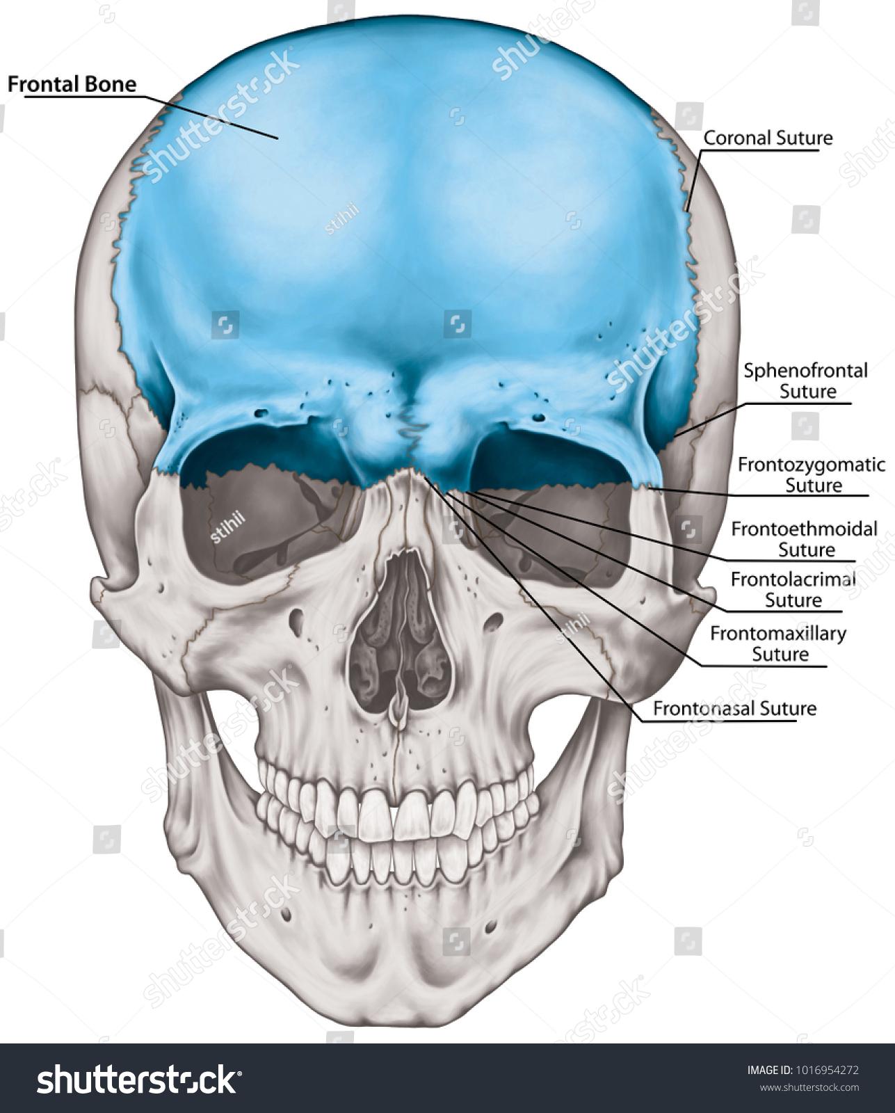 Frontal Bone Cranium Bones Head Skull Stock Illustration 1016954272 ...
