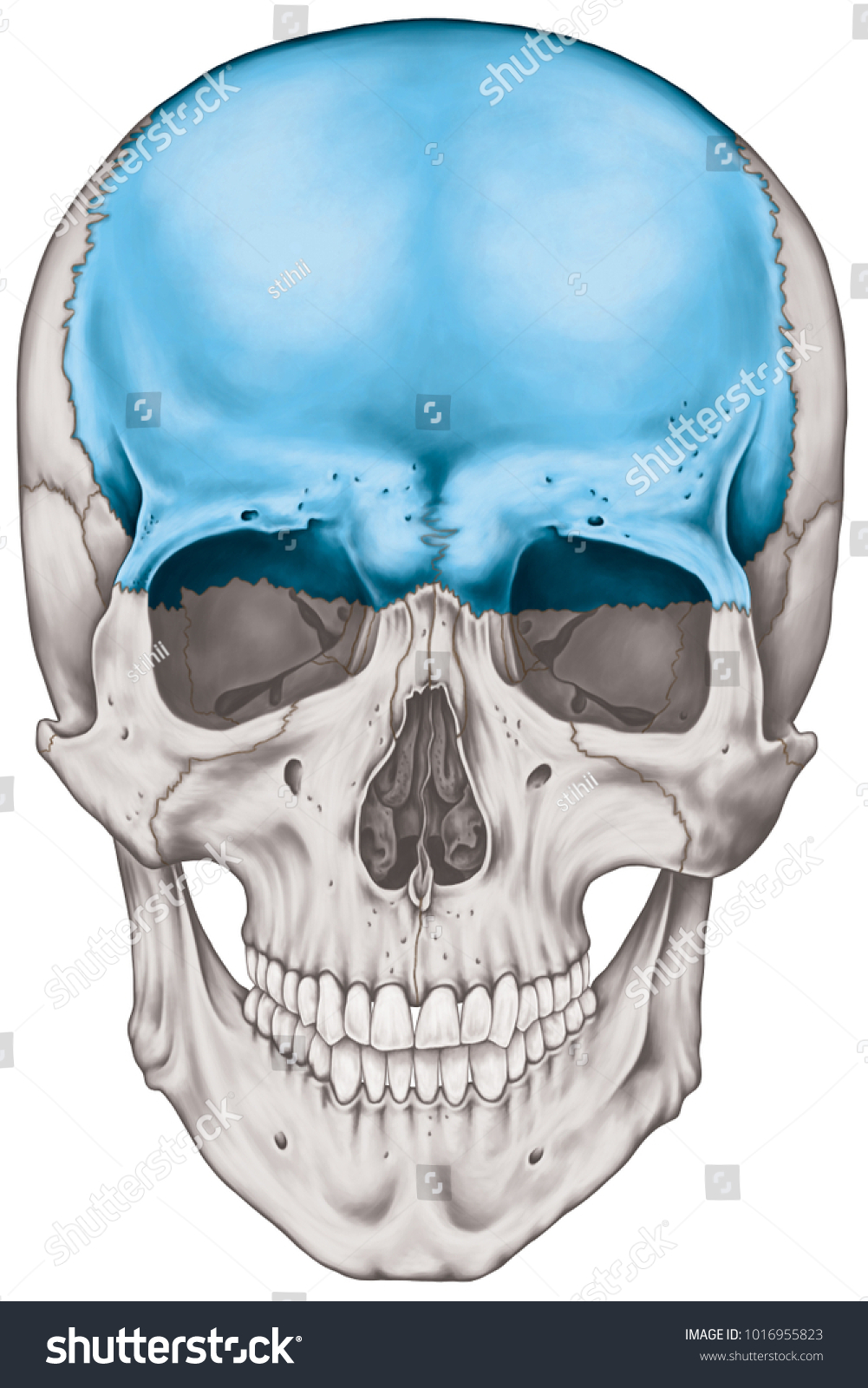 Frontal Bone Cranium Bones Head Skull Stock Illustration 1016955823