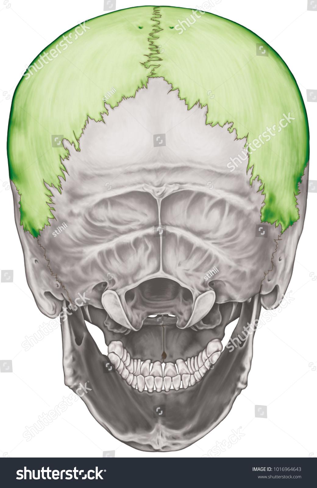 Parietal Bone Cranium Bones Head Skull Stock Illustration 1016964643