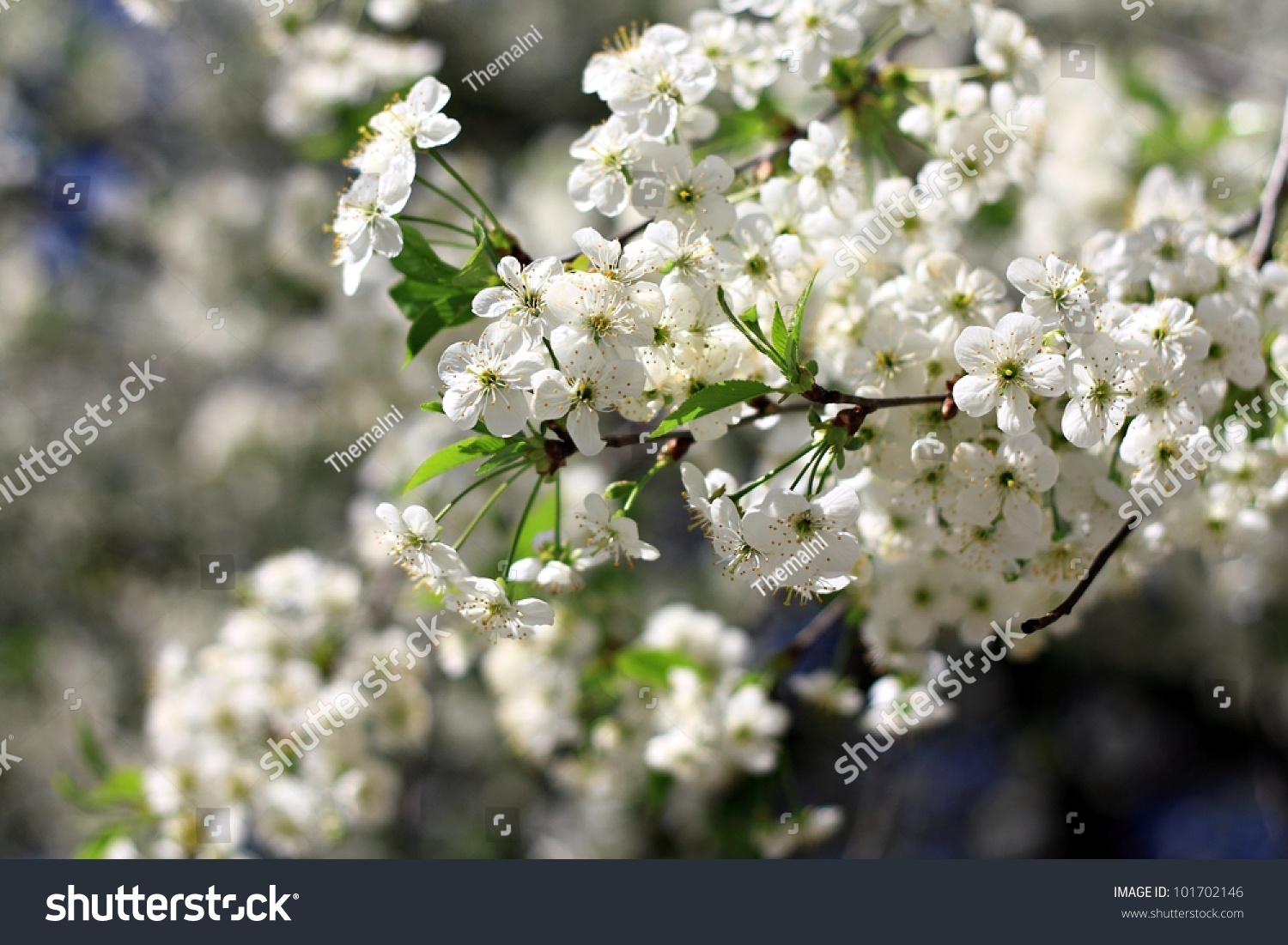 Sunny day and plum tree with white spring blossoms over blurred sunny day and plum tree with white spring blossoms over blurred nature background ez canvas mightylinksfo