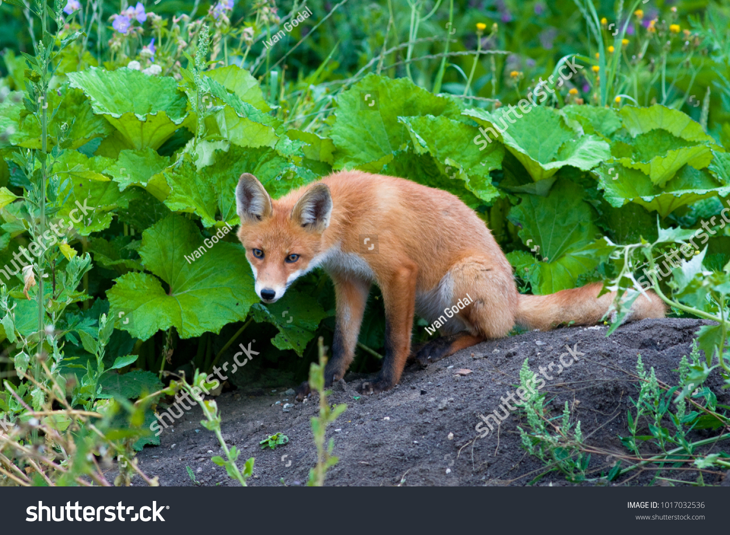 Red Fox Vulpes Vulpes Beautiful Animal Stock Photo Edit Now
