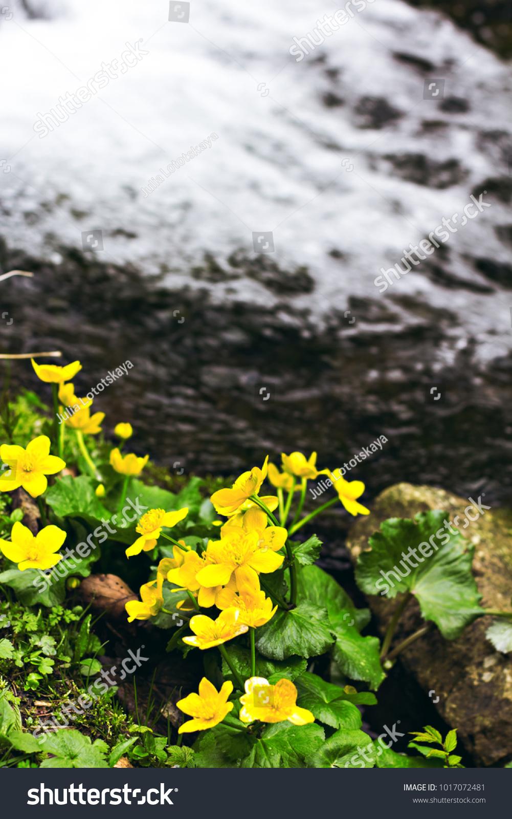 Small Yellow Spring Flowers Mountains Vesennik Stock Photo Image