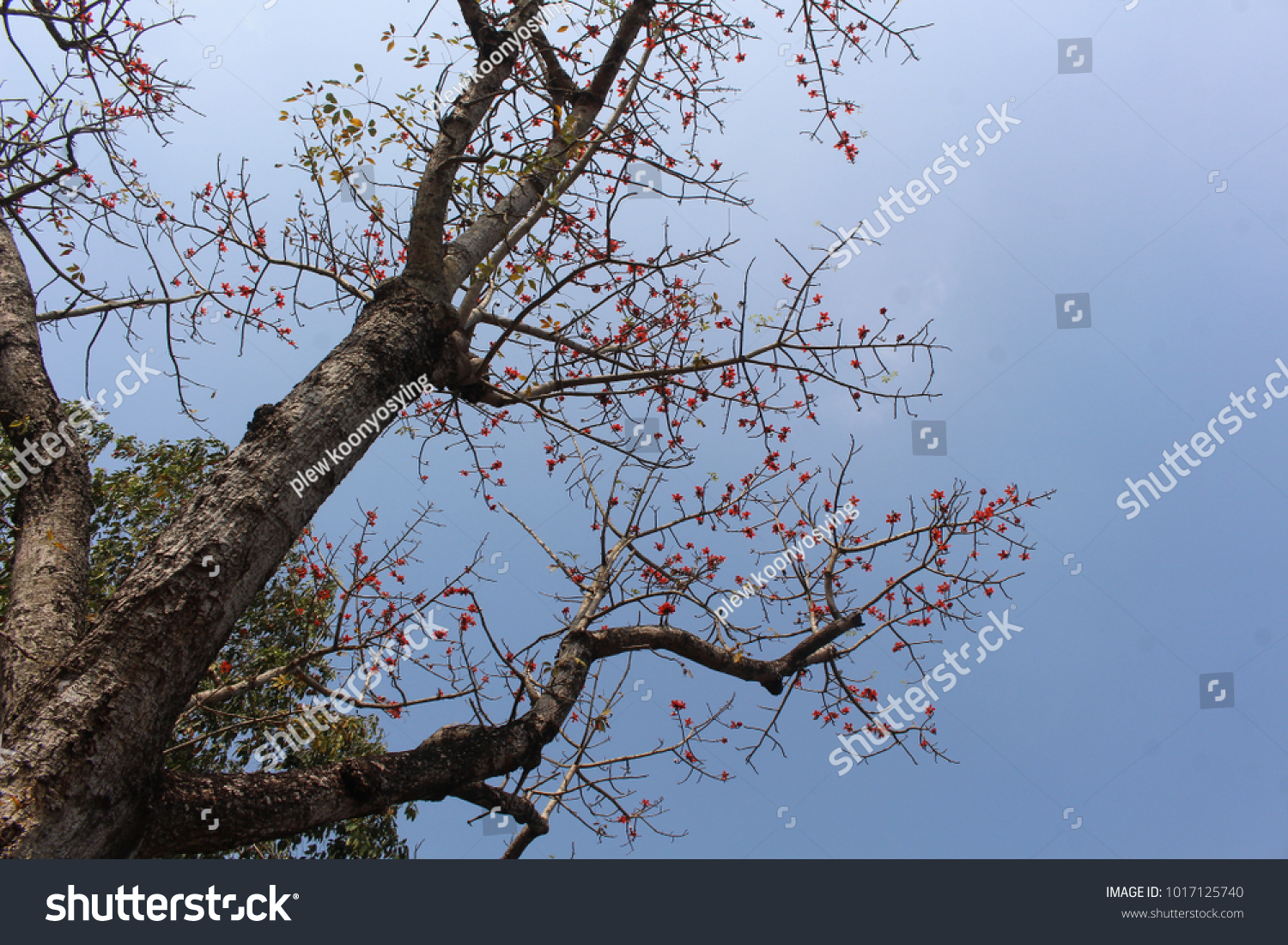 Top Red Cotton Tree Flowers On Stock Photo Edit Now 1017125740
