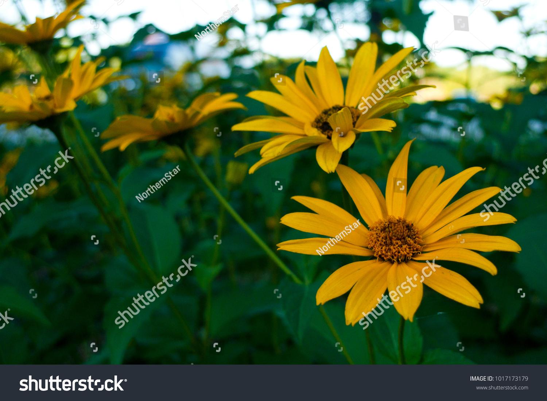 Yellow Flowers Ez Canvas