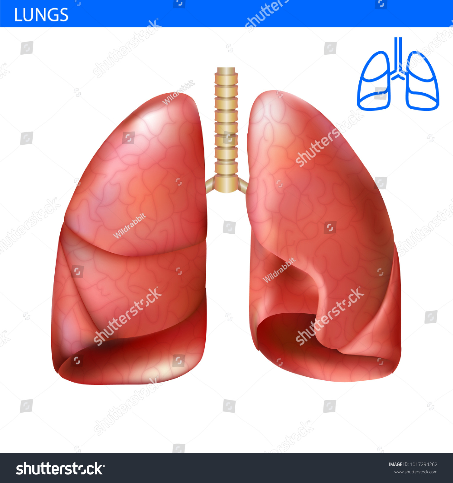 Human Lungs Anatomy Realistic Illustration Front Stock Vector ...