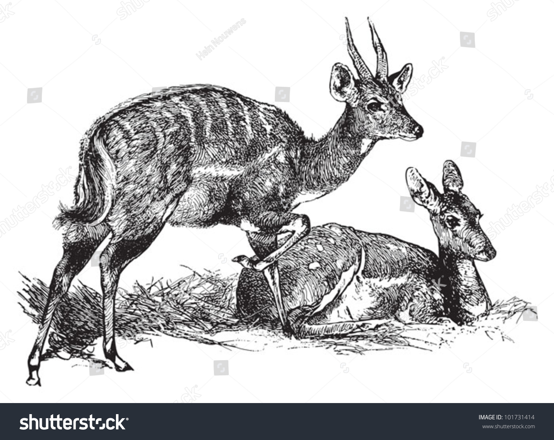 Bushbuck antelope tragelaphus scriptus vintage illustration from brockhaus konversations lexikon 1908
