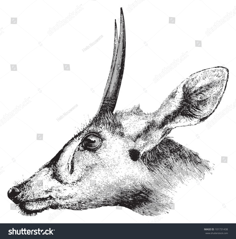 Duiker cephalophus madoqua vintage illustration from brockhaus konversations lexikon 1908 vector deer drawing