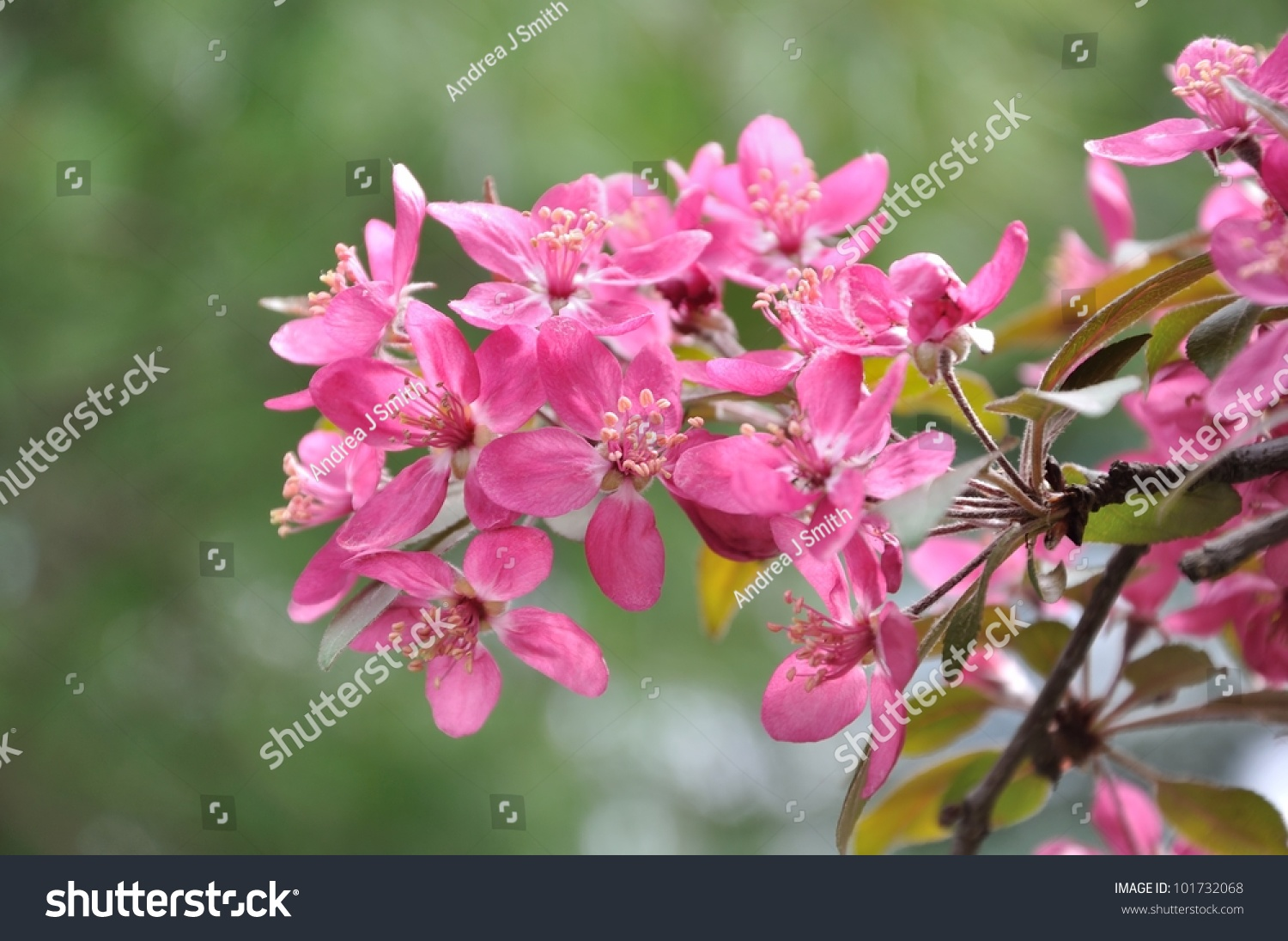 Pink Flowers On Tree Spring Upstate Stock Photo Edit Now 101732068