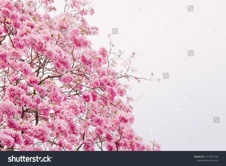Pink Flower Tree In The Park Trumpet Trees Or Tabebuia Rosea