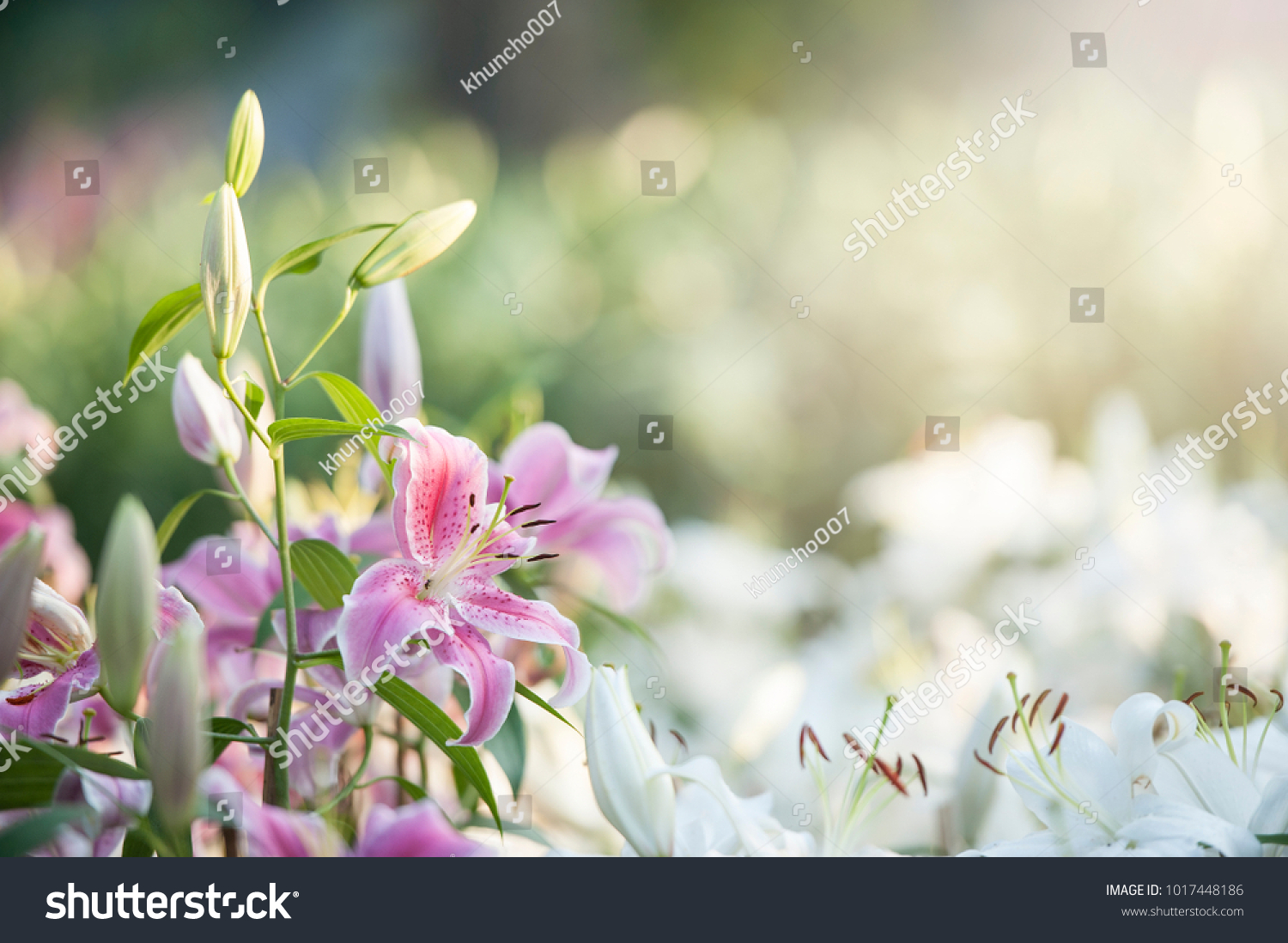 Lily Broad Leaves Arching Stems Fragrant Stock Photo Royalty Free