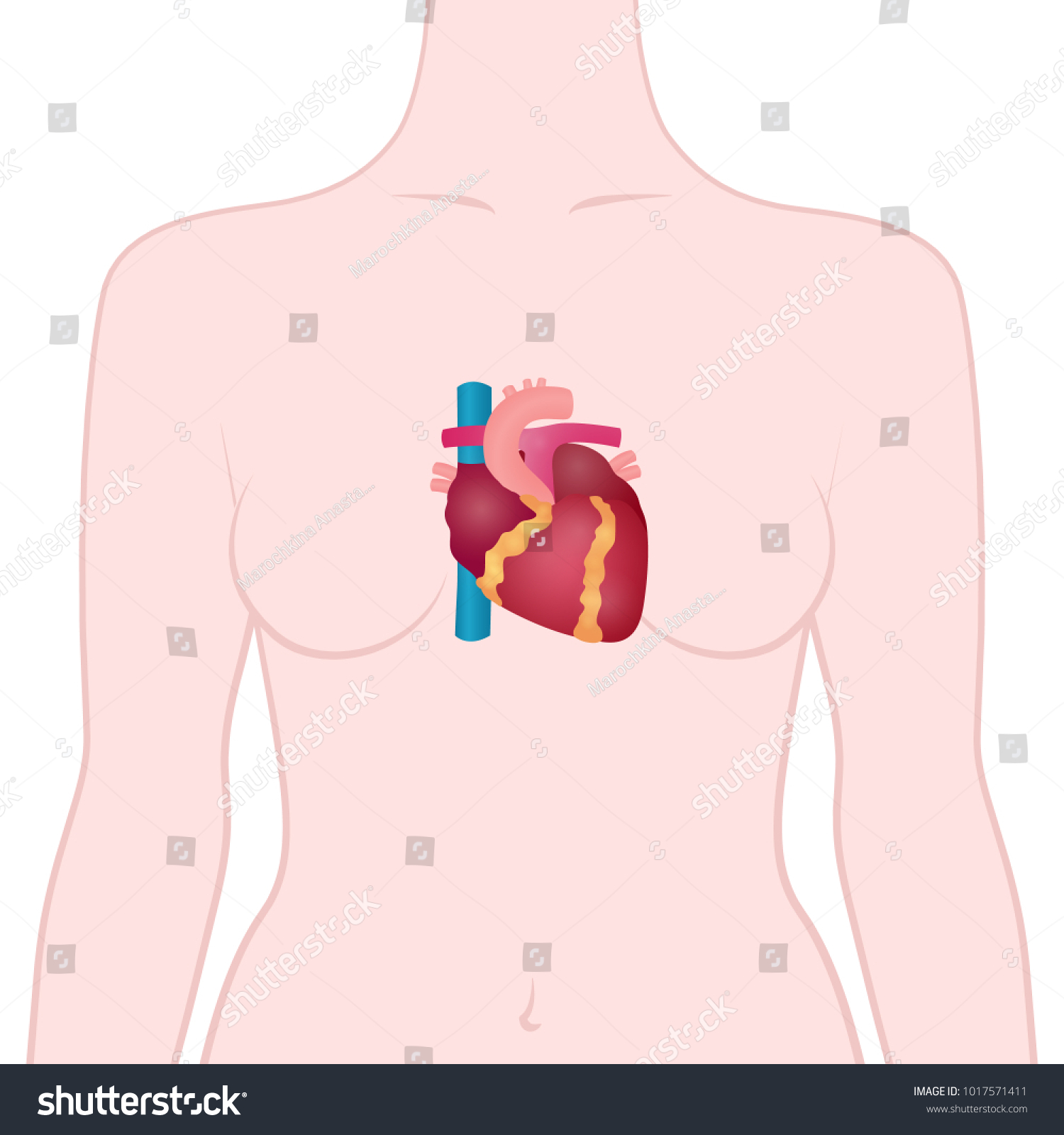 Anatomy human heart location heart human stock vector 1017571411 anatomy of the human heart the location of the heart in the human body ccuart
