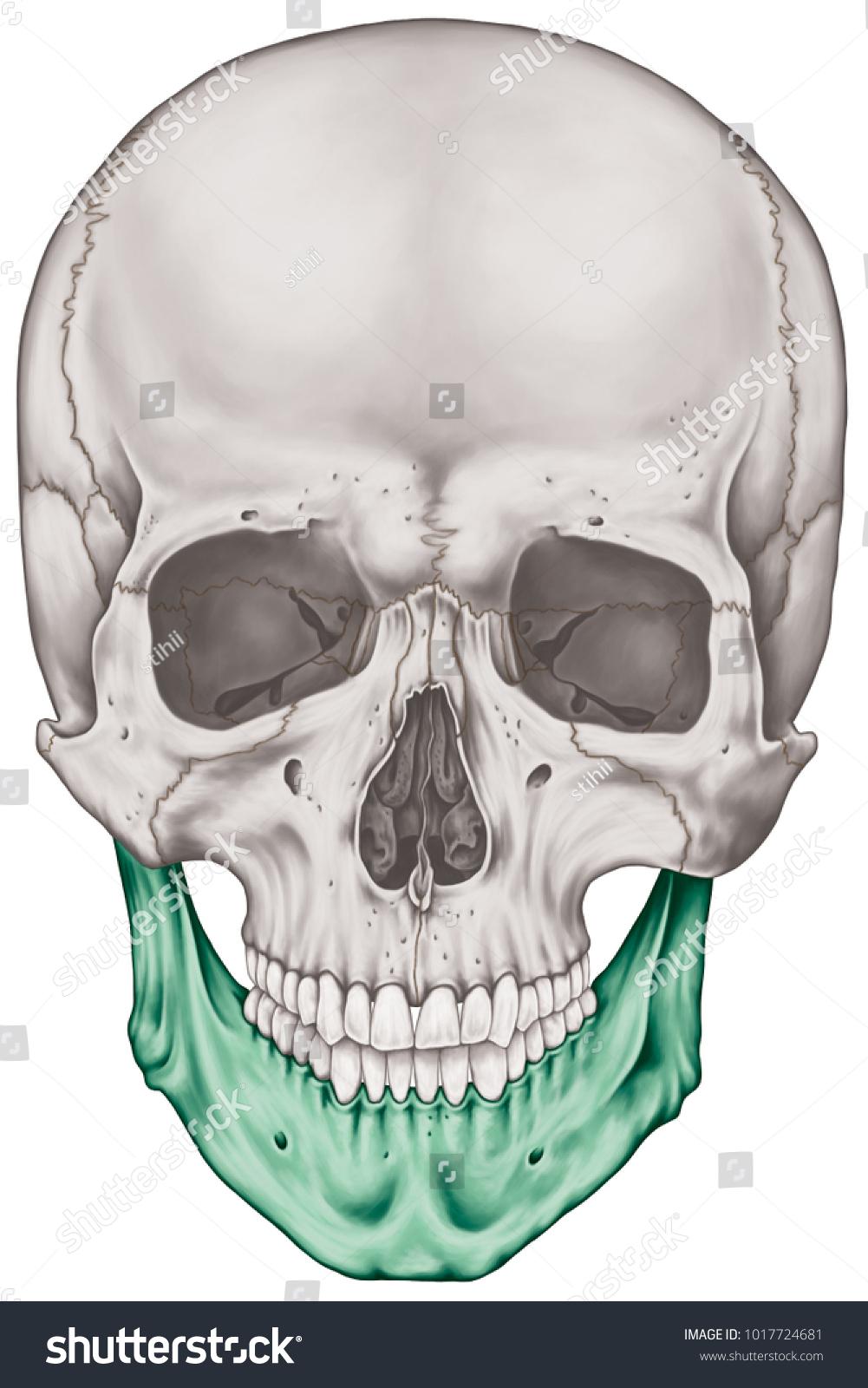 Mandible Bone Cranium Bones Head Skull Stock Illustration 1017724681