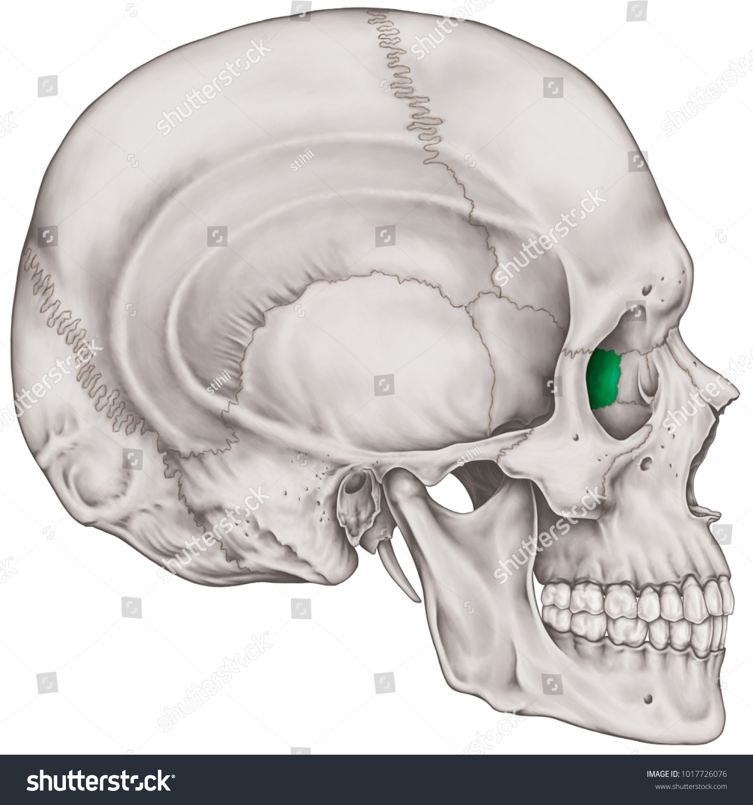Ethmoid Bone Cranium Bones Head Skull Stock Illustration 1017726076 ...