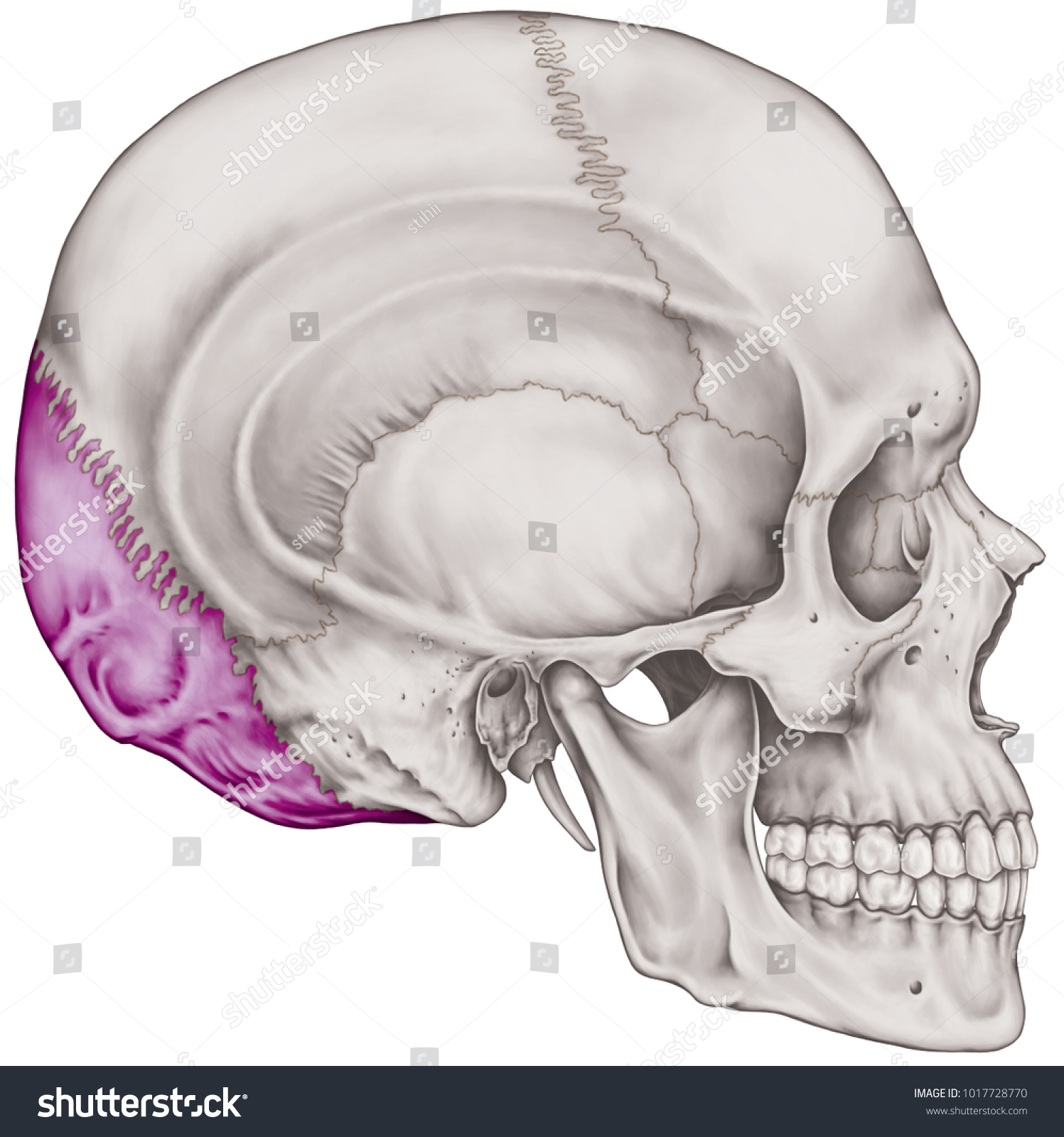 Occipital Bone Cranium Bones Head Skull Stock Illustration ...