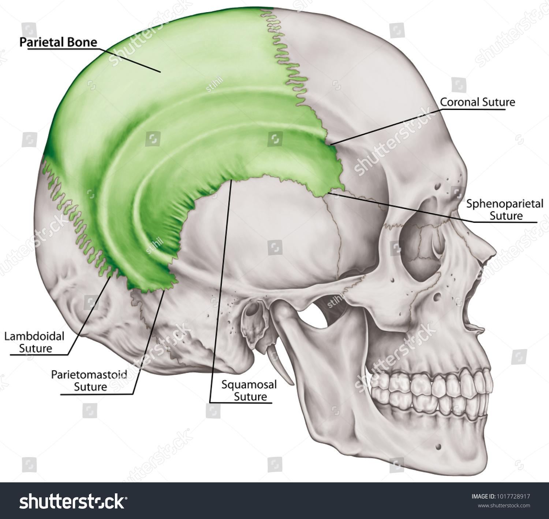 Parietal Bone Cranium Bones Head Skull Stock Illustration 1017728917