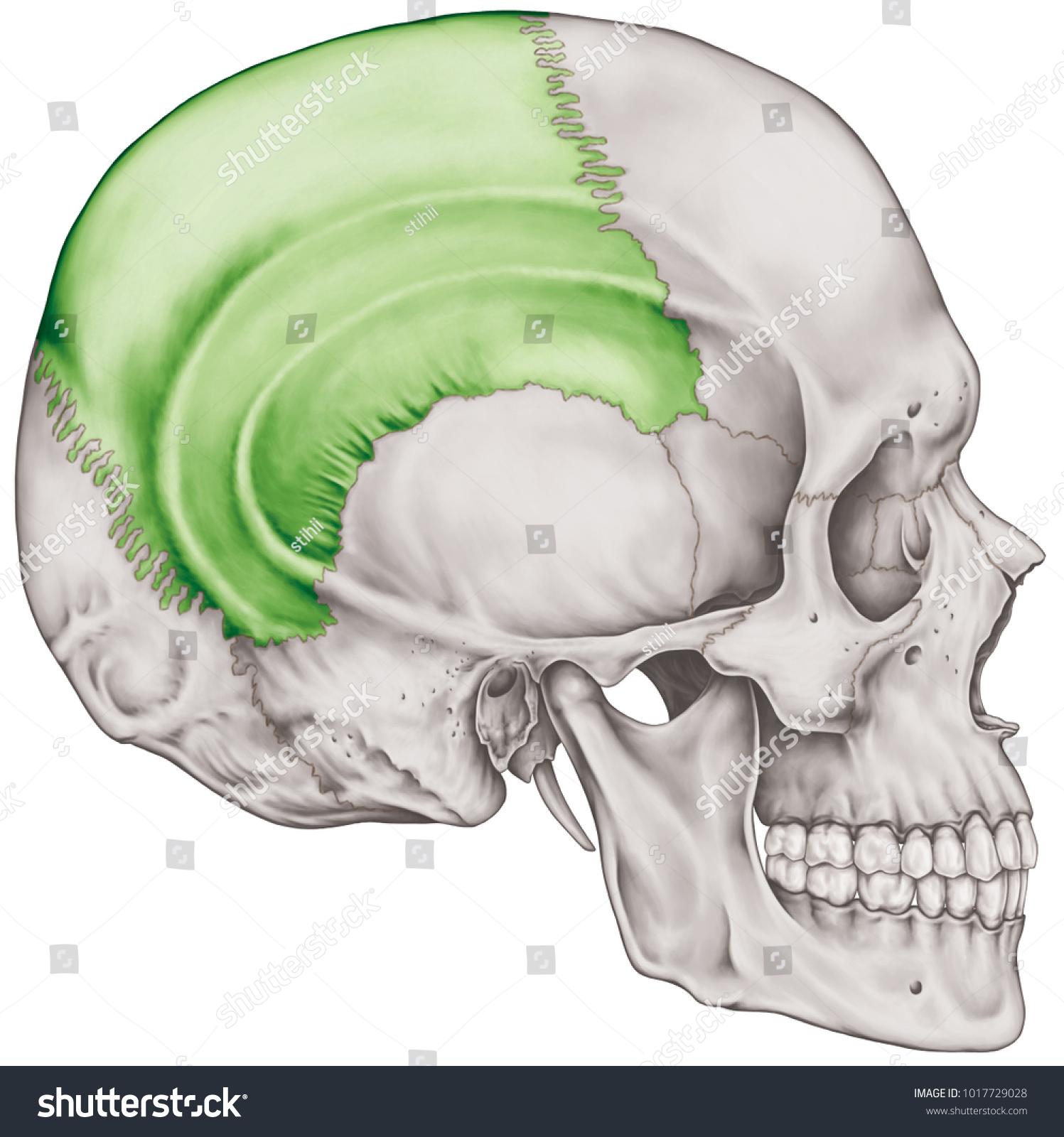 Parietal Bone Cranium Bones Head Skull Stock Illustration 1017729028