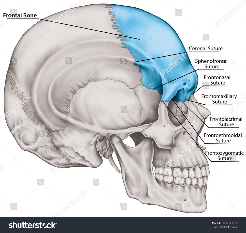 Frontal Bone Cranium Bones Head Skull Stock Illustration 1017729538 ...