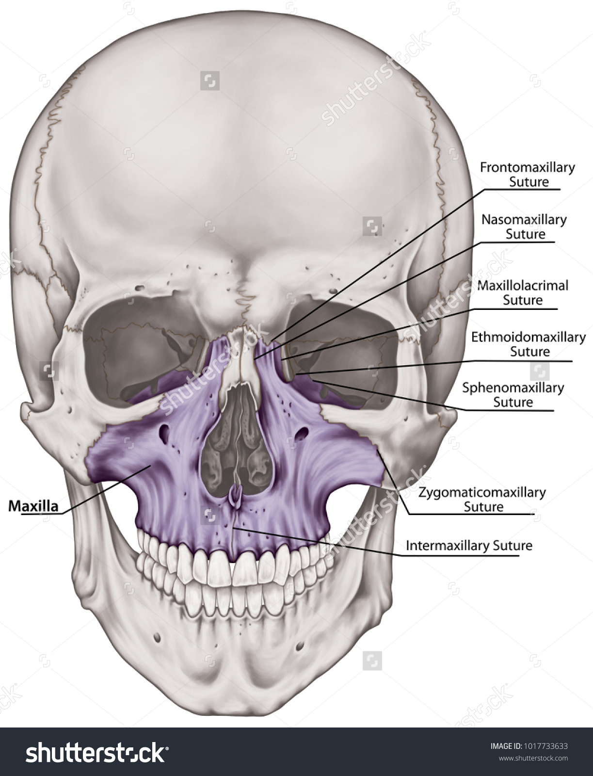 Dorable Head Skull Anatomy Pattern - Human Anatomy Images ...