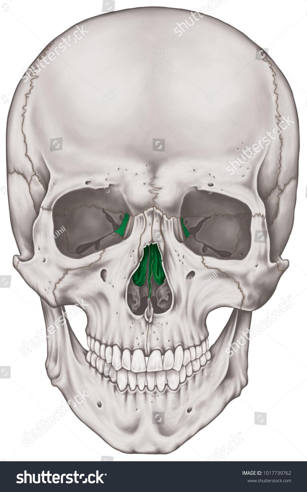 Ethmoid Bone Cranium Bones Head Skull Stock Illustration 1017739762 ...