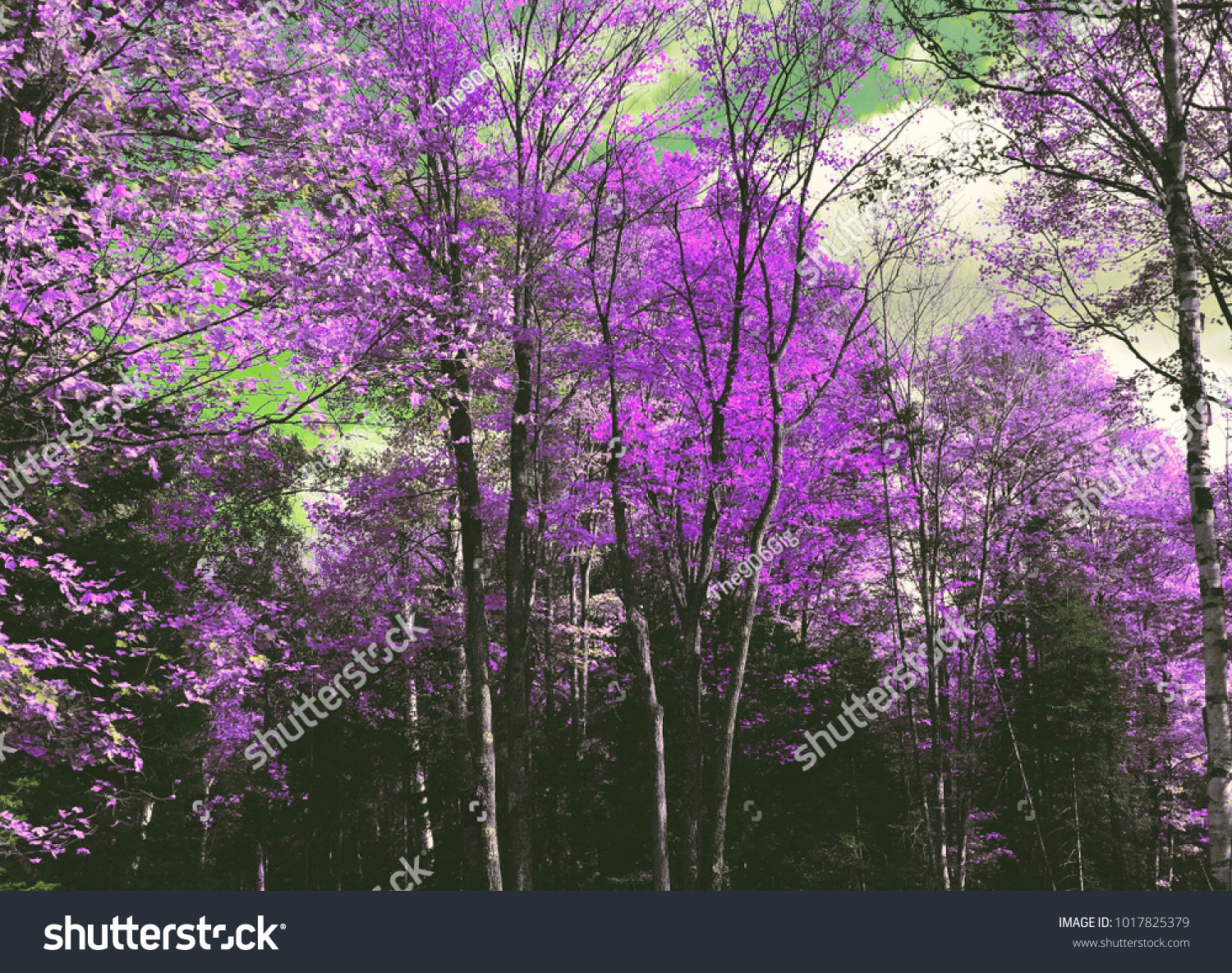 Spring Trees Lavender Pink Purple Leaves Stock Photo Edit Now