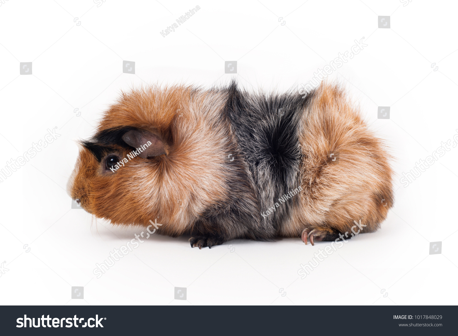 Red Black White Guinea Pig Abyssinian Stock Photo (Edit Now