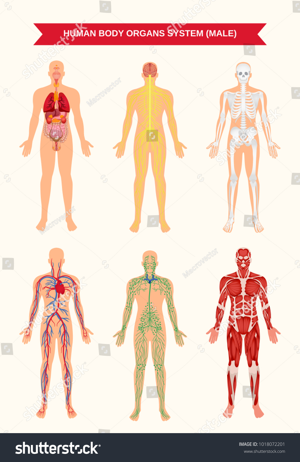 Male Body Internal Organs Circulatory Nervous Stock Vector Royalty