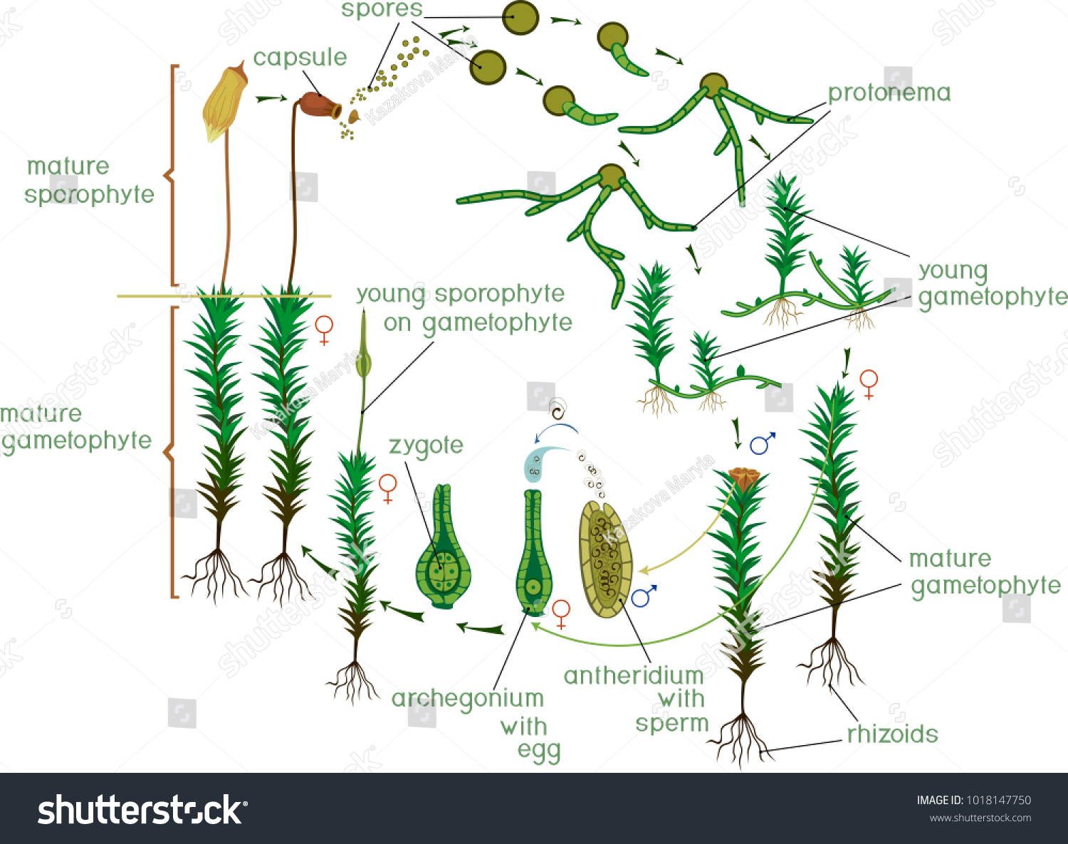 Fern life cycle diagram choice image diagram design ideas moss life cycle diagram life cycle stock vector 1018147750 moss life cycle diagram of a life pooptronica Choice Image
