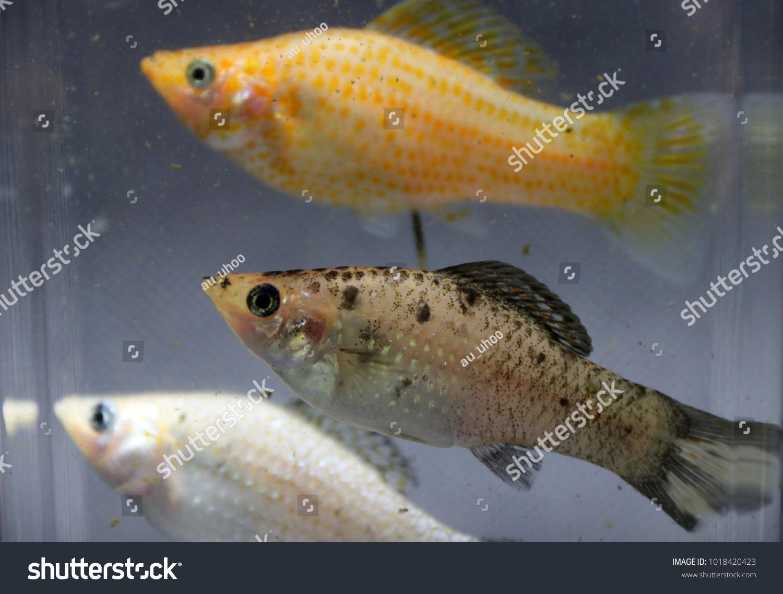 Sailfin Molly Fish Silver Orange Striped Stock Photo Edit Now 1018420423