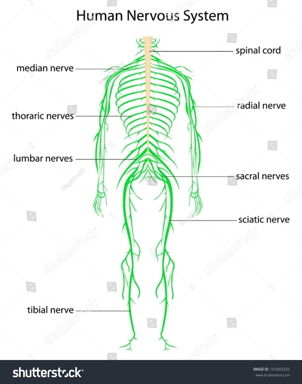 Illustration Human Nervous System Labels Stock Vector 101843320 ...
