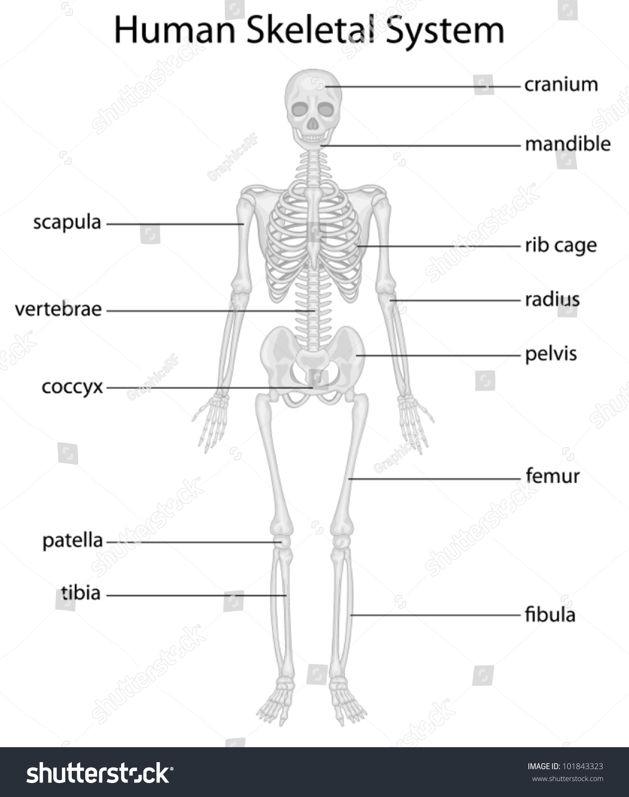 Illustration Skeletal System Labels Stock Vector Royalty Free