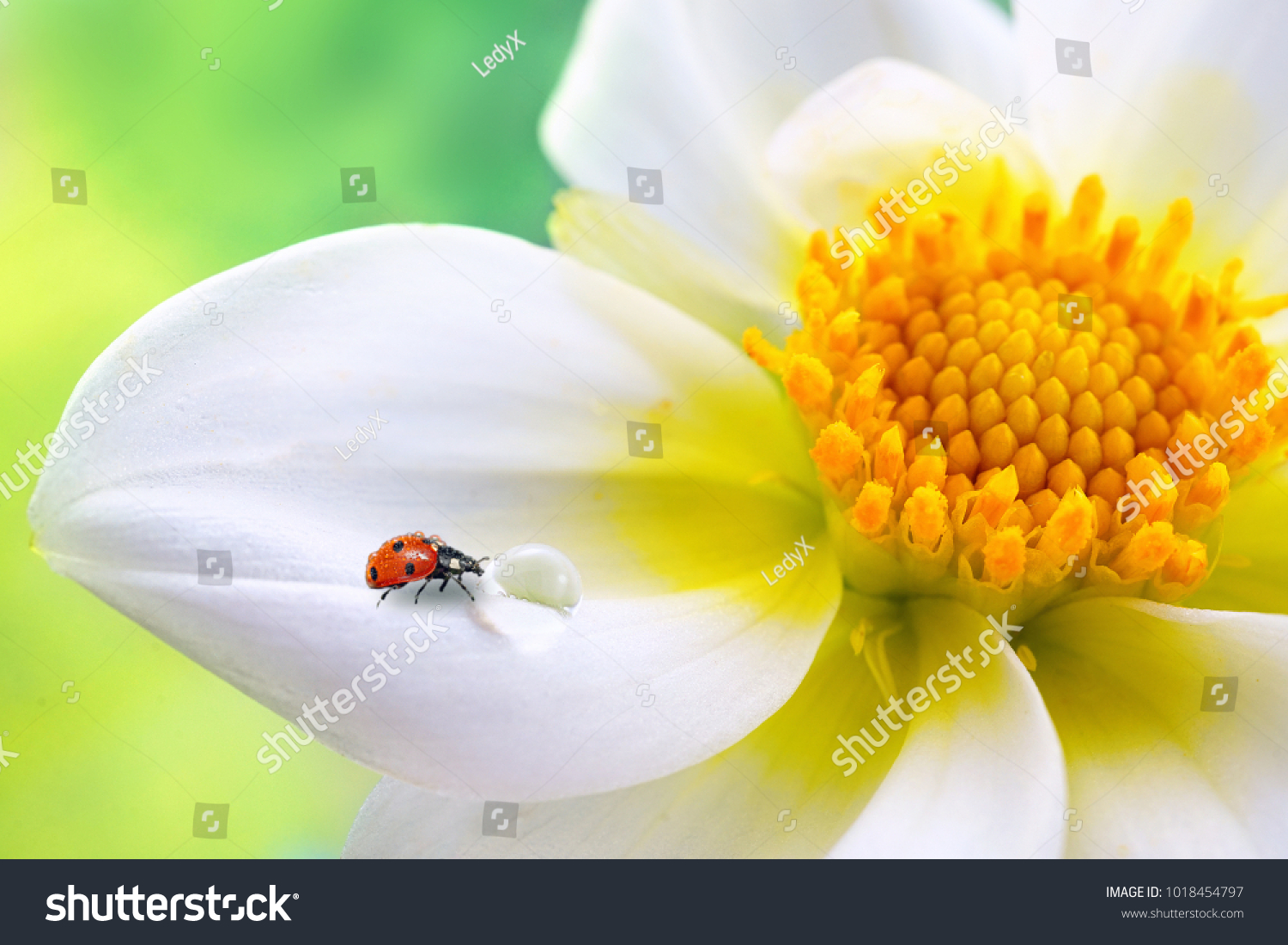 Tropical White Flower Yellow Stamens Ladybug Stock Photo Edit Now